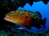 Marbled_Grouper