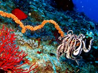 crinoid_on_a_whip_coral