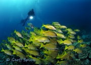 School of snappers, 6 mile reef, Sodwana Bay