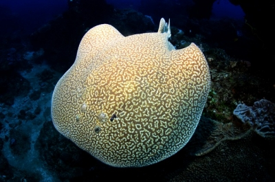 Marble Electric Ray