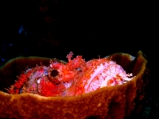 Raggy Scorpion Fish in a Cup Sponge